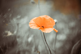 Poppy Flower on a Wind Photographic Print by Alexey Rumyantsev