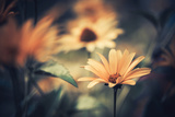 Yellow Summer Flowers Photographic Print by Alexey Rumyantsev