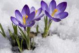 Crocuses in Snow Photographic Print by  Irina