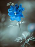 Blue Garden Flower at Abstract Background Fotoprint van Alexey Rumyantsev