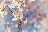Closeup of Cherry Tree Blossoms in the Spring Photographic Print by  leekris