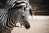 Zebra Closeup Posters by  stefano pellicciari