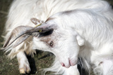 White Goat Seated Bended Head close Up Photographic Print by  stefano pellicciari