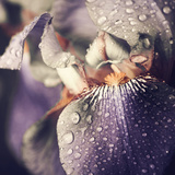 Spring Iris Flower Leafs Closeup with Rain Drops Photographic Print by Alexey Rumyantsev