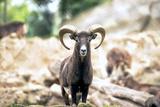Montecristo Goat Portrait Italy Photographic Print by  stefano pellicciari