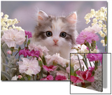 8-Week, Silver Tortoiseshell-And-White Kitten, Among Gillyflowers, Carnations and Meadowseed Prints by Jane Burton