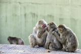 Japanese Macaques Ridding of Fleas Fotografisk trykk av  stefano pellicciari