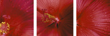 Red Hibiscus Triptych Photographic Print by Anna Miller