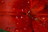 Red Amaryllis Abstract Photographic Print by Anna Miller