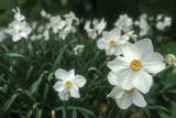 Anna Miller - Daffodil Field - Fotografik Baskı