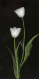 Tulips on Black Background Photographic Print by Anna Miller