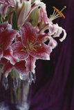 Stargazer Lilly Study Photographic Print by Anna Miller