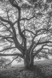 Wild Oak Tree in Black and White Portait, Petaluma, California Photographic Print
