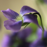 Violet Closeup Photographic Print by Anna Miller