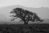 Dark Oak Silhouette, Petaluma California Photographic Print