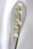 Lily of the Valley Photographic Print by Anna Miller