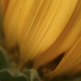 Yellow Sunflower Closeup Photographic Print by Anna Miller