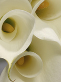 White Calla Lily Abstract Photographic Print by Anna Miller