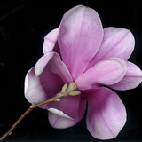 Magnolia Bloom on Black Background Photographic Print by Anna Miller