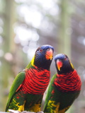 Rainbow Lorikeet Photographic Print by Takashi Images
