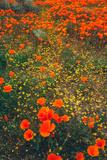 Poppy Field Design, Central California Photographic Print