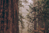 Redwood Forest Detail, California Coast Photographic Print