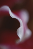 Stargazer Lily Abstract Photographic Print by Anna Miller