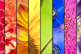 Collage of Flowers in Rainbow Colors Stampa fotografica di  YellowPaul