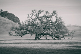 Coast Live Oak Elegance in Black and White, Northern California Reproduction photographique
