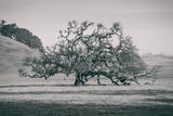 Coast Live Oak Elegance in Black and White, Northern California Fotografisk trykk