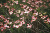 Pink Dogwood Blooms Photographic Print by Anna Miller
