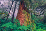 Time Tree, California Redwood Coast Photographic Print