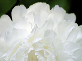 Peony Abstract Photographic Print by Anna Miller