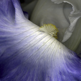 Iris Abstract Photographic Print by Anna Miller