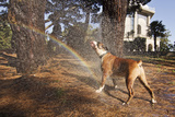 Boxer Dog Having a Shower in the Park Photographic Print by gena fotografo