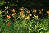 Daylily Field Photographic Print by Anna Miller
