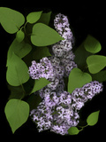 Lavender Lilac Plant Photographic Print by Anna Miller