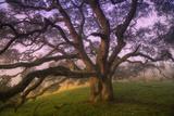 Majestic Wild Oak, Petaluma, California Fotografická reprodukce