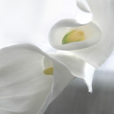 Calla Lily Photographic Print by Anna Miller