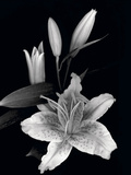 Stargazer Lily Study Photographic Print by Anna Miller
