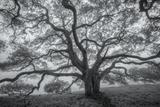 Wild Oak Tree in Black and White, Petaluma, California Fotografisk trykk