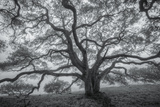 Wild Oak Tree in Black and White, Petaluma, California Photographic Print