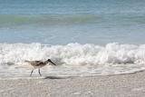 Sandpiper Shore Bird Walking in Ocean on Beach Papier Photo par Christin Lola