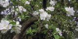 Crab Apple Blooming Branch Photographic Print by Anna Miller