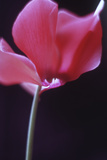 Red Cyclamen Abstract Papier Photo par Anna Miller