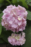 Pink Hydrangea Bloom Photographic Print by Anna Miller