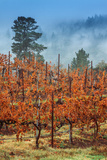 Misty Autumn Vineyard, Calistoga Napa Valley Photographic Print
