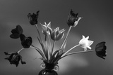 Black and White Tulip Study Photographic Print by Anna Miller