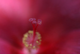Red Hibiscus Abstract Photographic Print by Anna Miller