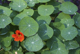 Nasturtium Leaves and Flower Photographic Print by Anna Miller